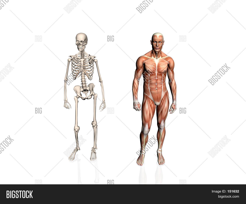 Anatomy Man Skeleton Image Photo Free Trial Bigstock