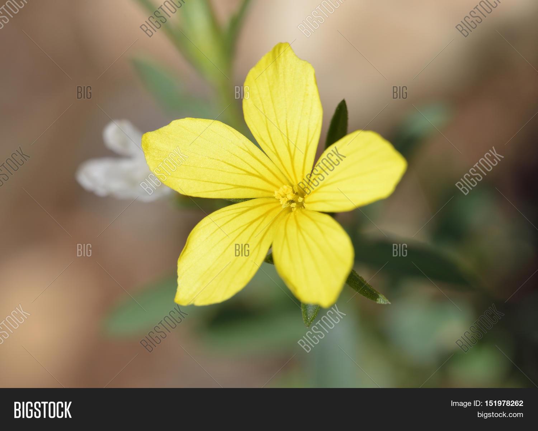 Linum nodiflorum image photo free trial bigstock linum nodiflorum yellow flax flower from cyprus mightylinksfo