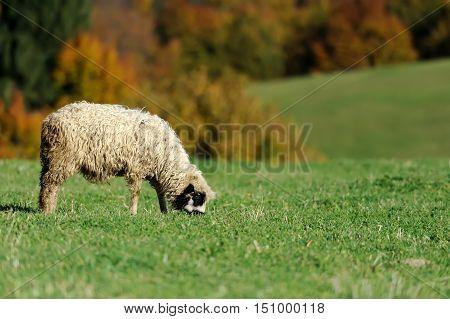 Flock white sheep on a autumn field