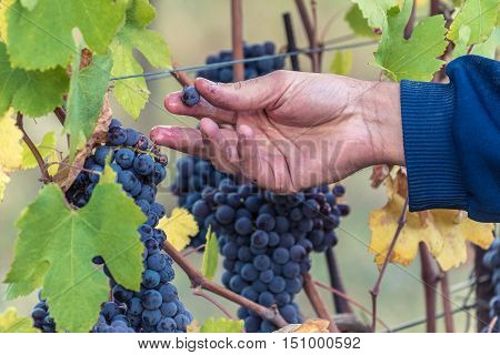 Red Grape harvest time in a beautiful winery in north italy