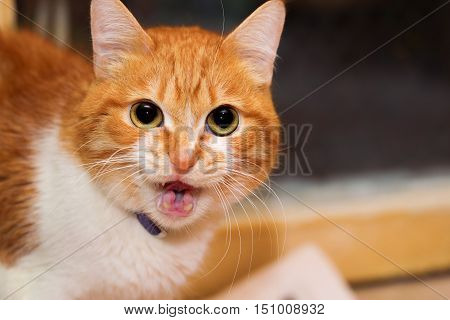 Red cat with big round eyes talking to you