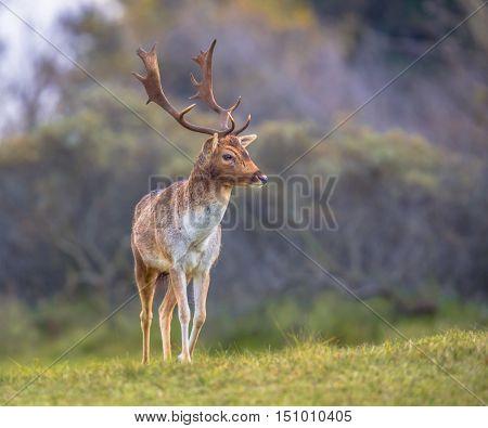Male Fallow Deer Walking