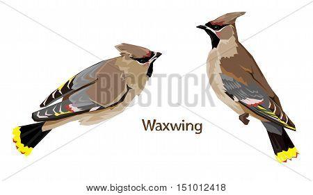 bird vector, vector illustration isolated birds. birds flying, bird Waxwing.