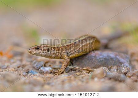 Viviparous Lizard Head And Body