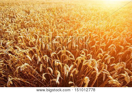 Wheat Field. Ears Of Golden Wheat Closeup. Rich Harvest Concept