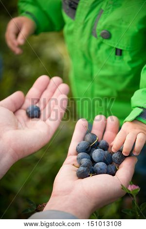 closeup of parent's hands full of organic blueberries and child going to try berries. Family picking up blueberries in forest. Father treating berries to his toddler son in park. Lifestyle concept
