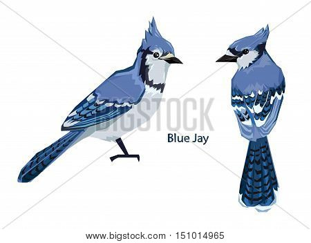 Blue Jay bird Vector Illustration, bird vector