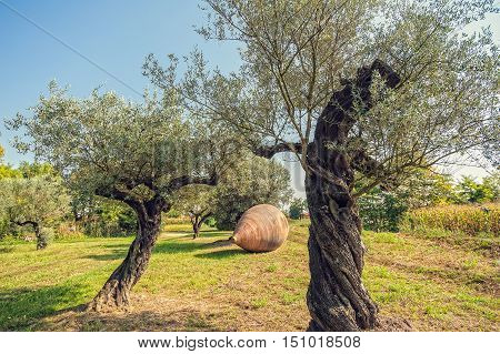 Olive Trees And Large Earthen Jar.