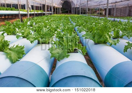 Hydroponics vegetable growing in the nursery for sale.