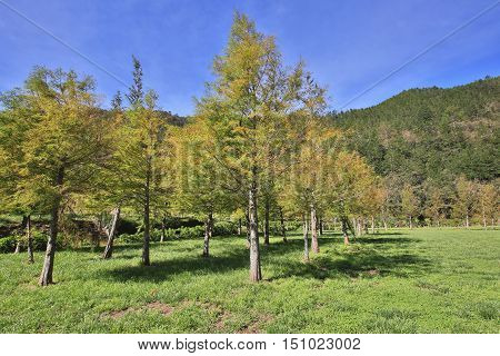 Bald cypress trees,colorful trees growing on the field in a sunny day