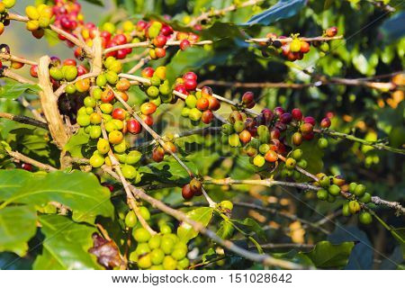 Coffee beans ripening on tree in Viet Nam. Raw robusta beens