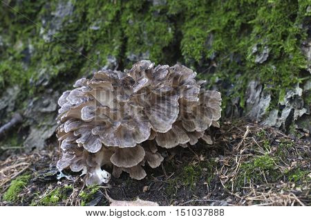 Grifola frondosa edible polyporus mushroom whidele khown in Far East and North America.