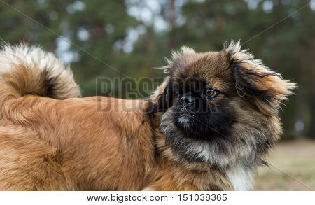 Pekingese looks around. Dog is walking in the autumn park.