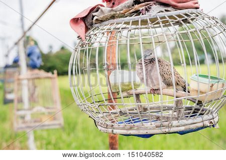 Closeup dove in wooden cage with green rice field background.