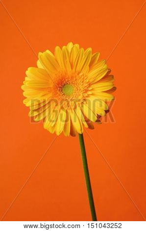 Yellow Gerbera Daisy flower on orange colored background