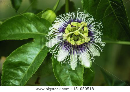 The blossoming passion fruits flower closeup in summer