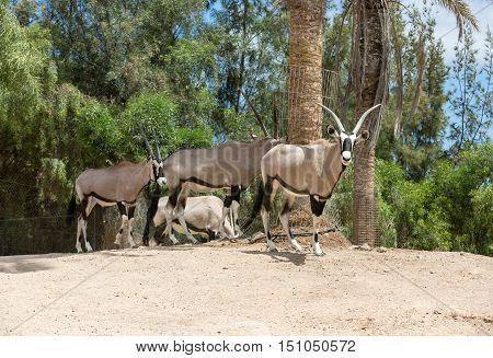 portrait of Gemsbok Oryx gazelladominant Gemsbok antelope