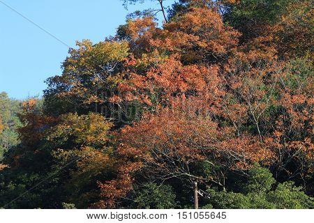 red japanese maple autumn fall at 2014