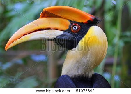head of female Great Hornbill, profile looking left, large aviary south of Songkhla, Thailand