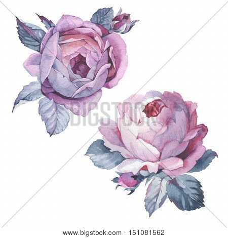 Wildflower rose flower in a watercolor style isolated. Full name of the plant: rose, hulthemia, rosa. Aquarelle wild flower could be used for background, texture, wrapper pattern, frame or border.
