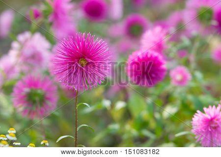 Pink aster flowers in a garden in autumn