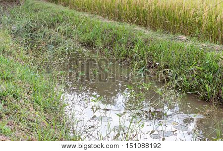 Natrual small ditch with the water lily in the paddy field .