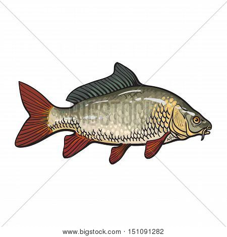 Hand drawn golden carp, sketch style vector illustration isolated on white background. Colorful realistic drawing of a golden carp, edible freshwater fish