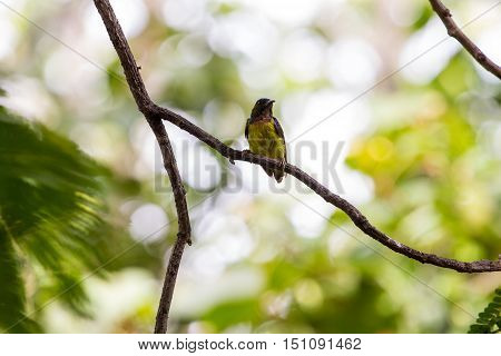 Brown-throated Sunbird Is Perching On Branch