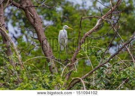 Intermediate Egret In Nature