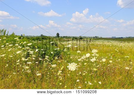 Meadow of the beautiful white wild flowers
