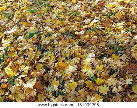 Autumn. Background of fallen leaves. Fallen leaves as the background. Natural background.