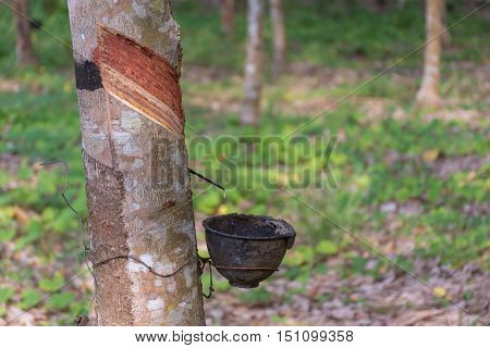 Natural latex dripping from a rubber tree at a rubber tree plantation. poster