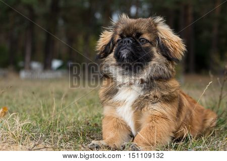Pekingese. Dog obediently posing for a photograph.
