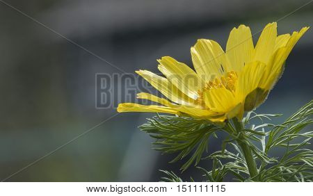 Adonis, Flower Adonis, painted mainly in pure yellow