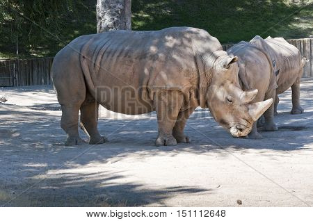 White Rninoceros. It is one of the five species of rhinoceros that still exist. It found in Africa.