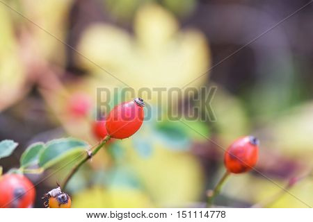 Red brier berries in autumn in Moldova, shallow focus close up