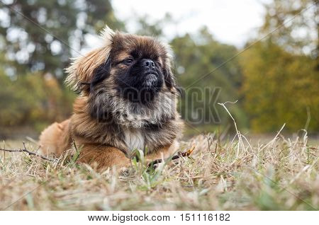 Pekingese lies in dry grass with a stick in its paws. Portrait of a dog closeup.