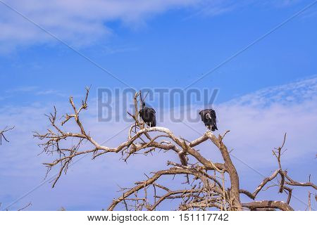 Vultures At Top Of Tree