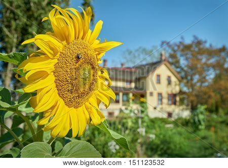Heritage Farmhouse, Delta, BC. A bright sunflower in the garden of the Gunn Heritage Farmhouse built in the 1880s. Delta BC near Boundary Bay.