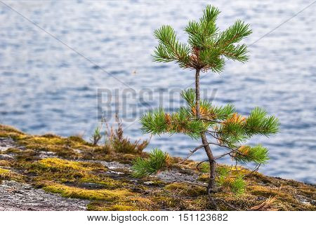 A small pine growing on the rocky shore of the lake on a background of blue water.