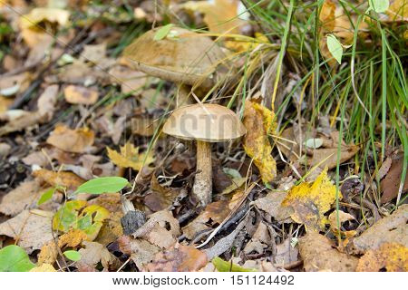 Small inedible mushroom Leccinum carpini (Leccinum griseum) in grass