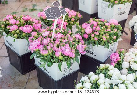 Peones on flower market of Aix-an-Provence France