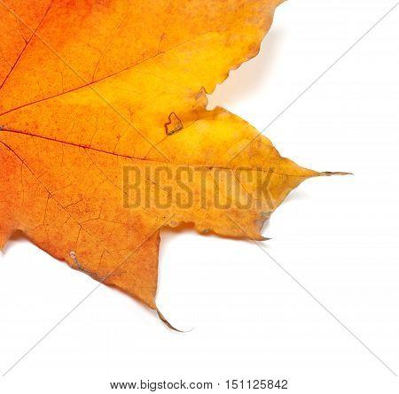 Piece Of Autumn Yellow Maple-leaf