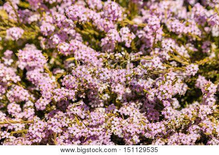closeup of pink breath of heaven shrub flowers