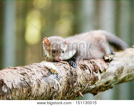 Stone marten lying on the log in forrest - Martes foina