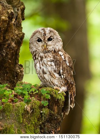 Young tawny owl in forest - Strix aluco