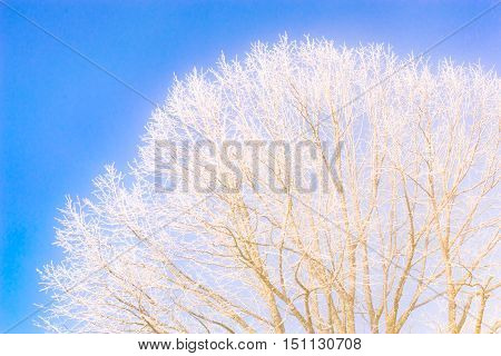 Frozen tree branches against the clear blue sky. Stock photo taken in frosty winter good weather.