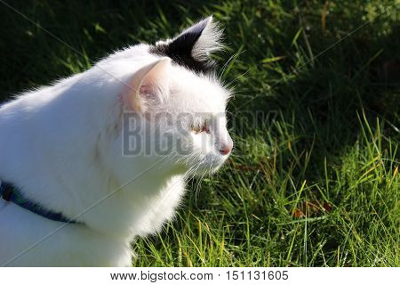 white og black - cat breed Turkish Van Vankedisi or Turkish Angora