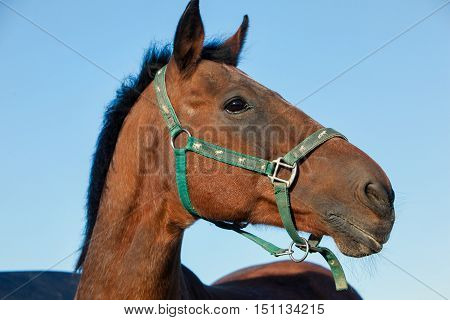 Outdoor profile head portrait of a thoroughbred dark brown horse with , halter and attentive facial expression in front of blue sky background.