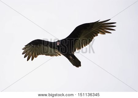 Turkey Vulture flying over during the fall migration in Wisconsin.